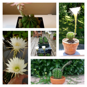 Mature Echinopsis Plants