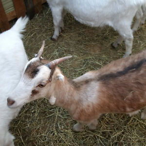 Doeling Goats