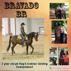 Beautiful pb reg'd Arabian Gelding
