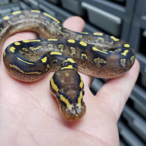 Ball Pythons Available...killer morphs!