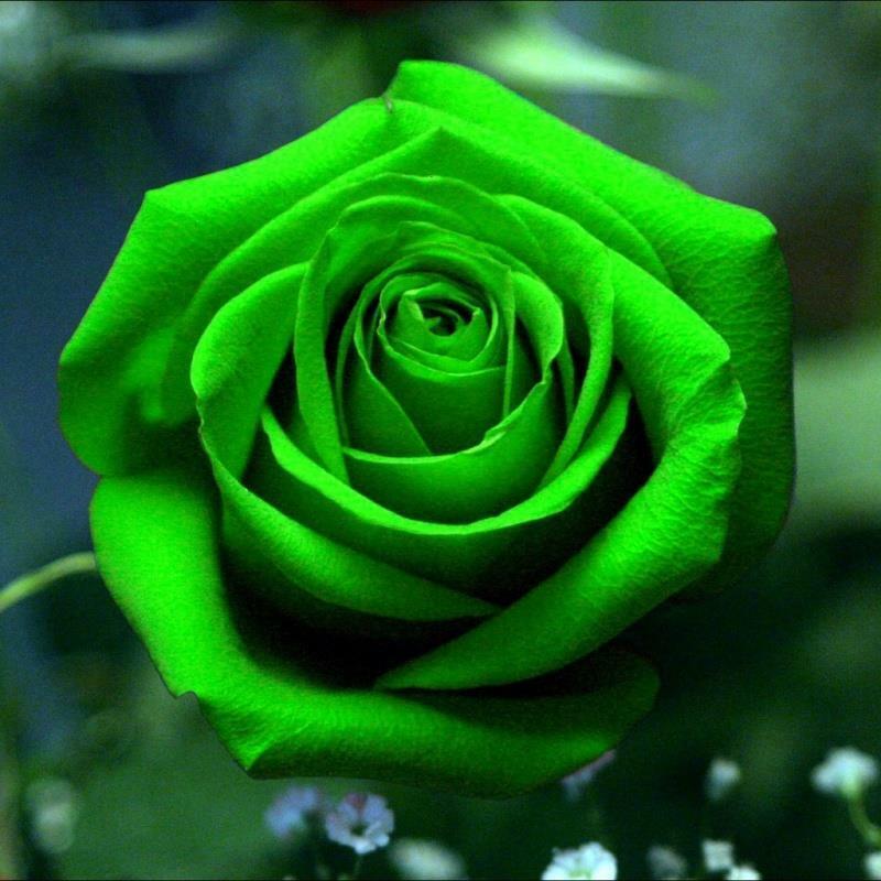 Bright Green Rose Rose Bush 20 or 100 Seeds~Rare-Free Shipping-USA Seller