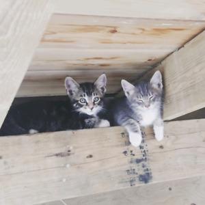 Lost kitten Chase area