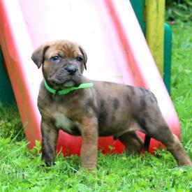 Mixed mastiff puppies RRADY NOW