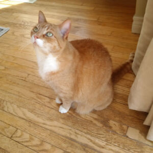 Ginger Tabby Cat to a GOOD home.