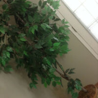 SILK TREE, EXCELLENT CONDITION, 7 FEET TALL APPROX.