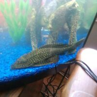 selling very healthy giant huge pleco