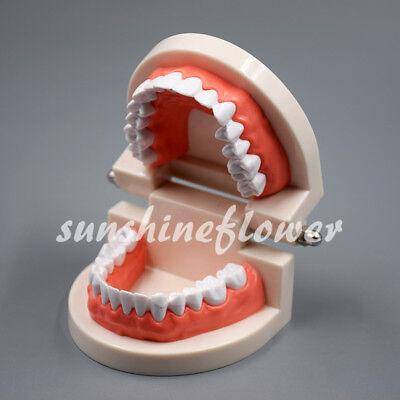 Dental Standard Demonstration Typodont Teaching Study Adult Tooth Teeth Model 1x