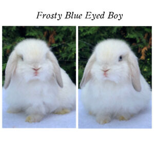 Adorable Purebred Holland Lop Bunny