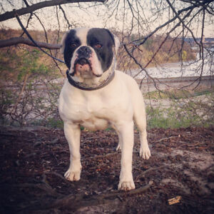 Quality American Bulldog Puppies For Sale - health tested