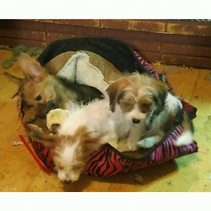Papillion/Yorkie Cross Puppies