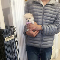 Teddy bear teacup white Pomeranian puppies for sale