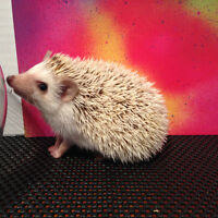 Super Cute Baby Hedgehogs - Almost Sold Out!