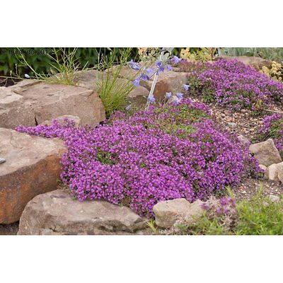 0.1g (appr. 700) creeping thyme seeds THYMUS SERPYLLUM the best low ground