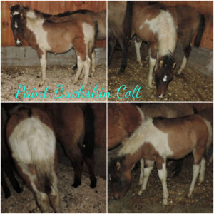 Weanlings Paint for sale