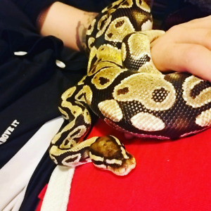 4.5Ft Ball Python + 5ft Tank + Accessories