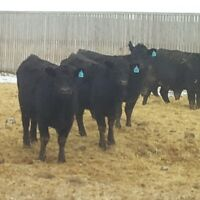 54 Fancy Black Angus Bred Heifers - PRICE REDUCED