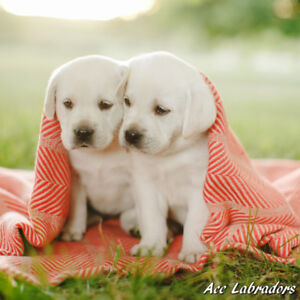 Registered Champion Sired Lab Pups - from Health Tested Parents!