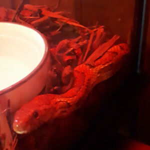 Corn Snake, Cage and Everything $175obo