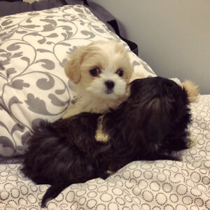 Teddybear Shihpoo Puppies