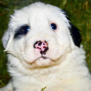 Maremma/Landseer X puppies available at the end of Oct.