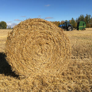 Barely or oat straw