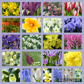 Pre potted spring bulbs