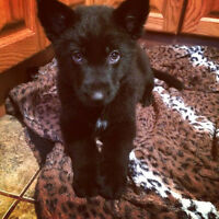 German shepherd Border colllie Mix