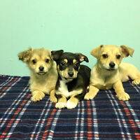 Sweetest Chiweenie Puppies