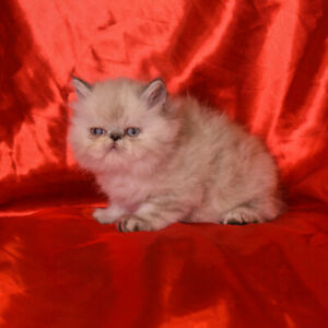 Persian Kitten ready to rehome