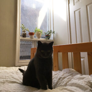 MISSING GREY CAT DOWNTOWN!!