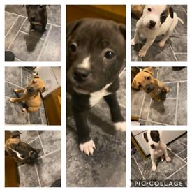 Staffys pups