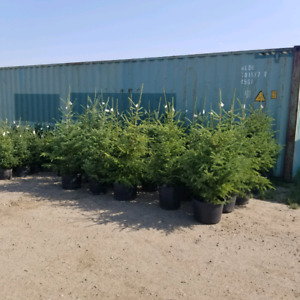 White Spruce for sale