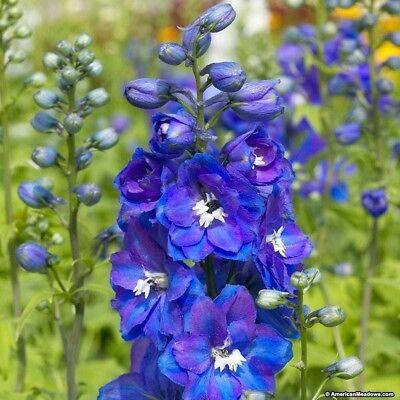 DELPHINIUM deep BLUE 100 SEEDS organic perennial attracts hummingbirds +gift (Delphinium Seeds)
