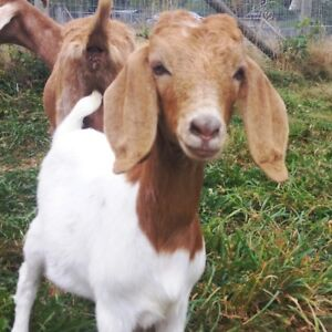 """Baby"" female yearling pet boer goat for sale Abbotsford"