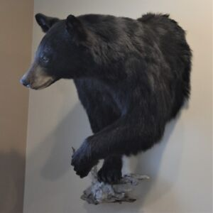 Black Bear Half Mount/Taxidermy