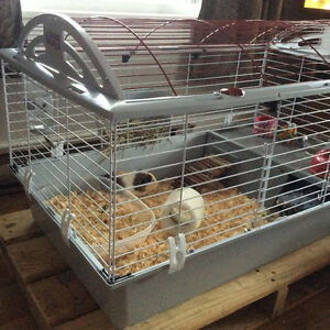 Two male guinea pig for sale.