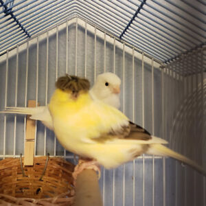 Canaries one gloster one white pair