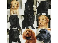 We have 7 F1B Cookapoo puppies available, 5 boys 2 girls Ready to go 4th May