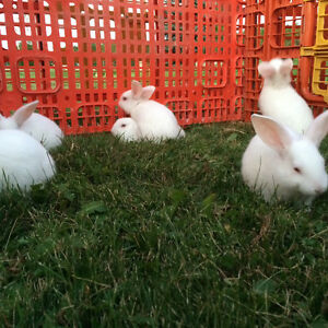 4 weeks + Rabbits for sale