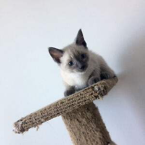 Ragdoll kitten~ Ready to go home~