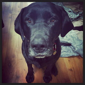Meet LUCY LU! Lab X Girlie searching for her Furever Home!