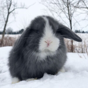 Beautiful purebred Blue Vienna Marked Holland Lop Bunny