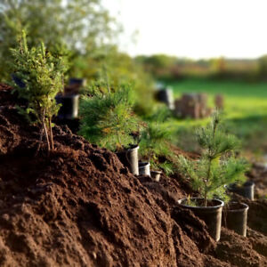 4 year white pine & spruce trees