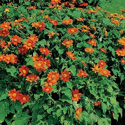 MEXICAN SUNFLOWER Tithonia✿200 Seeds✿4-6 Ft Tall Bush DROUGHT (Mexican Bush)