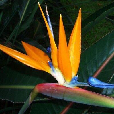 Sterlitzia Reginae Tropical Orange / Red Bird Of Paradise Plant-10 Exotic Seeds