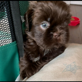 Shih Tzu Puppies (Full Pedigree) with both vaccinations