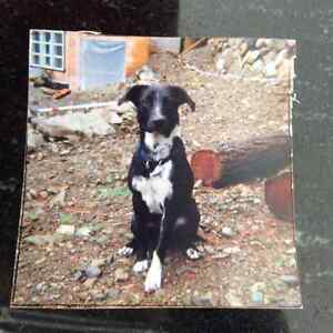 ISO Collie Cross Young