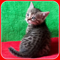 ★  BENGAL  ★  KITTENS  ★  STARTING PRICE  $600 ★