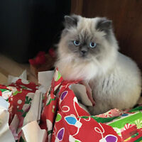 Looking for a Himalayan Ragdoll Kitten