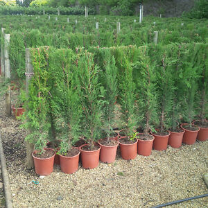 Cupressus sempervirens Italian Cypress Hedging Trees approx. 1.2M Tall